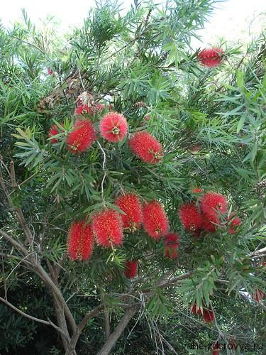 мелалеука дерево