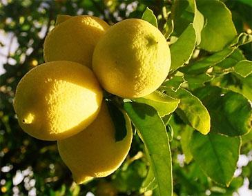 эфирного масла лимона