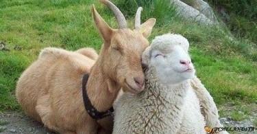 2015 год деревянной овцы