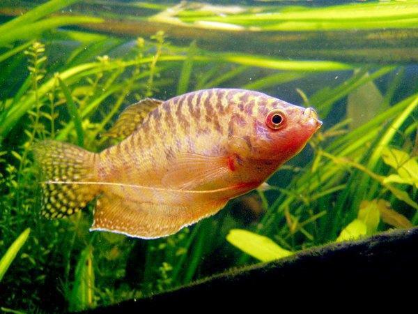 анималотерапия при лечение рыбками