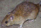 борьба с мышами и крысами 3 метода