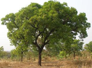 масло ши дерево