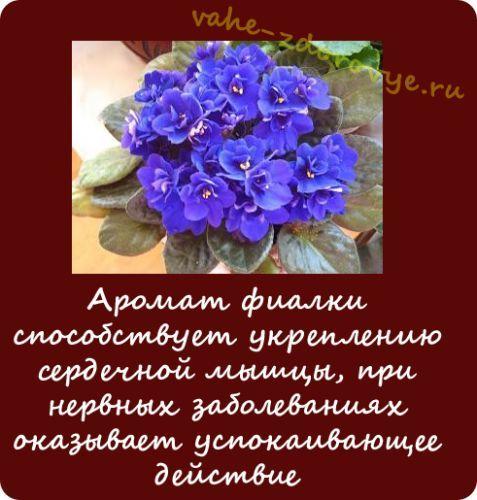 http://vahe-zdorovye.ru/wp-content/uploads/fialka.jpg