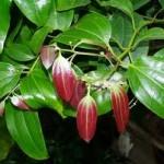 листья и плоды дерева корицы