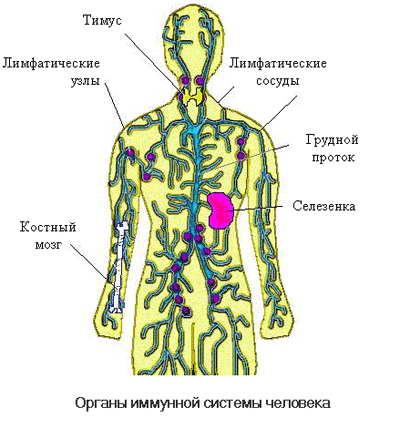 Органы Иммунной системы