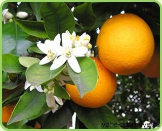 дерево апельсина и свойства масла