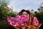 Эфирное масло розы применение